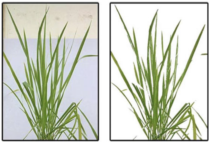 Cleaned image of a rice plant